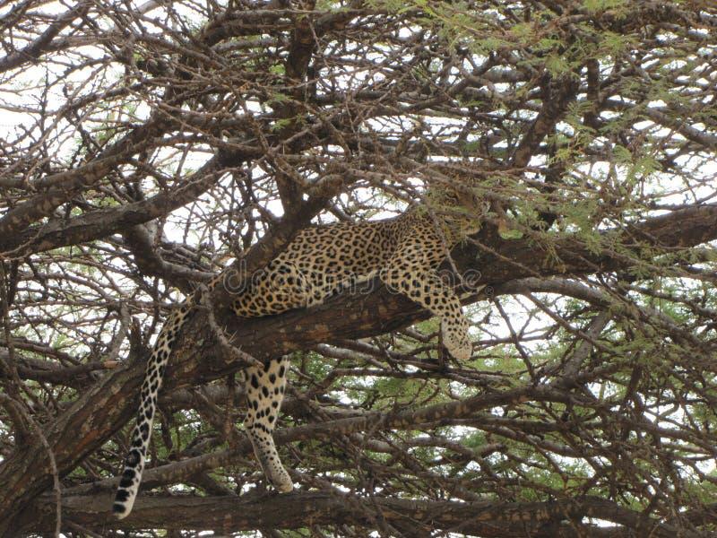 Leopard som vilar på ett träd royaltyfria bilder