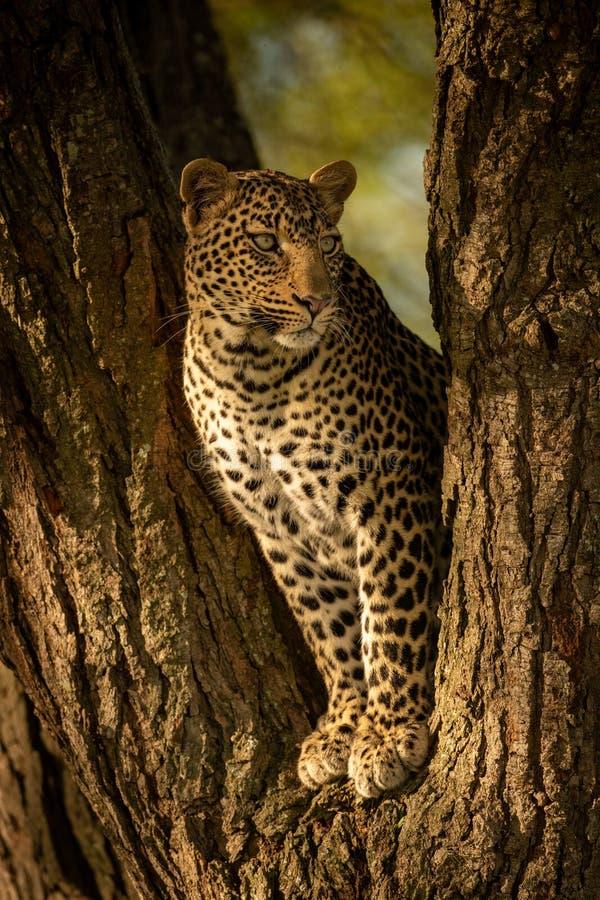 Leopard spoglądający prosto z widelca zdjęcia royalty free