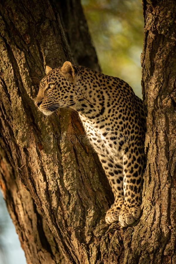 Leopard spoglądający w lewo od widelca zdjęcie royalty free