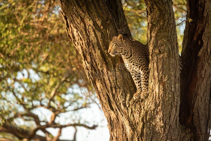 Leopard spoglądający z widelca fotografia royalty free