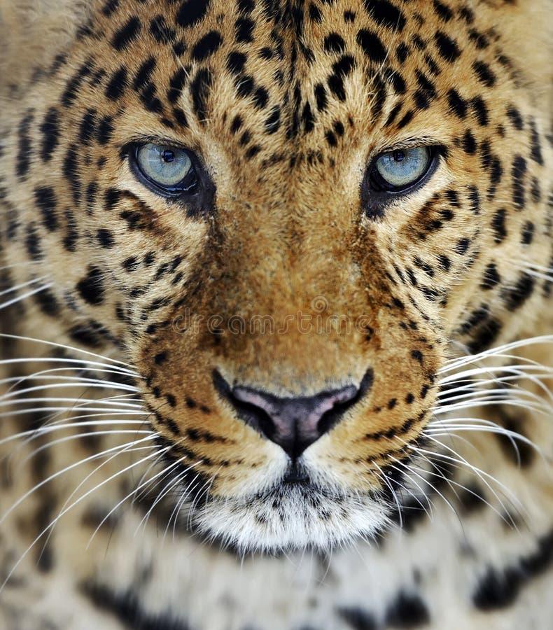 Leopard in Sri Lanka stockbild