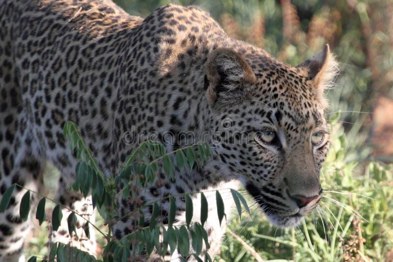 Download Leopard stalking stock image. Image of leopard, national - 23040219