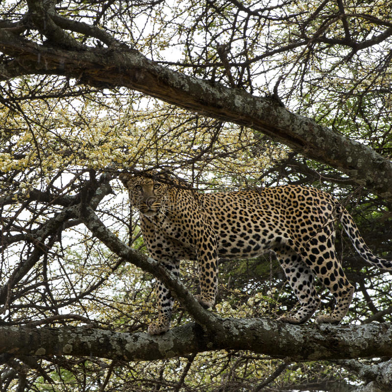 Leopard standing on a branch, Serengeti royalty free stock images