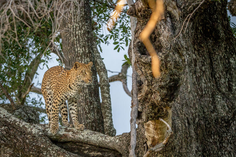 Leopard standing on a branch and starring. stock image