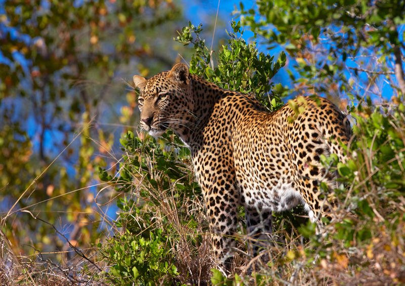 Leopard standing in savannah stock images