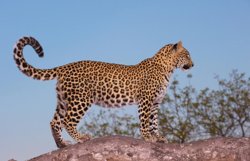 Leopard standing on the tree stock photos
