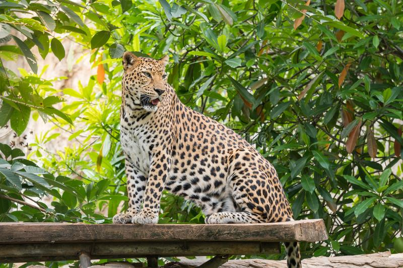 Leopard standing on the tree royalty free stock image