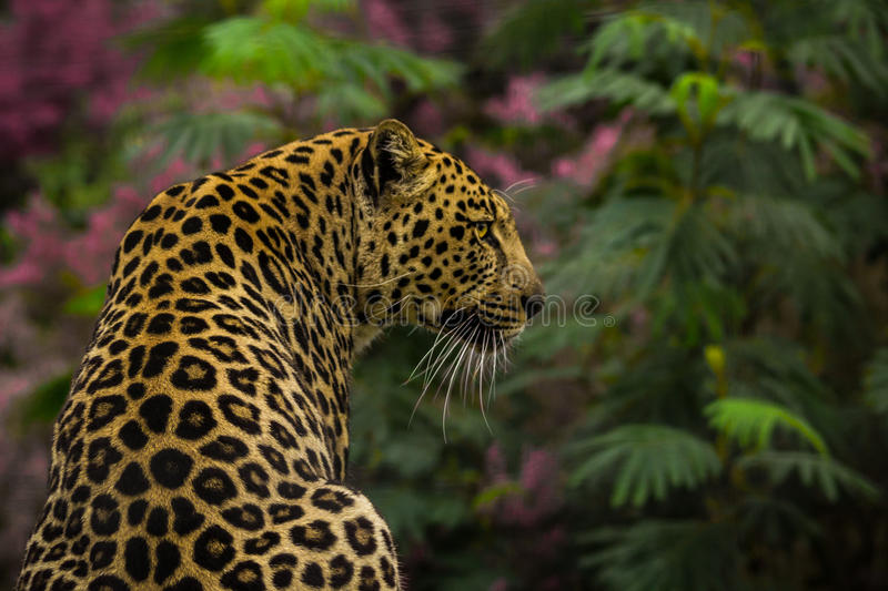 Leopard. A leopard surrounded by wildflowers stock photos