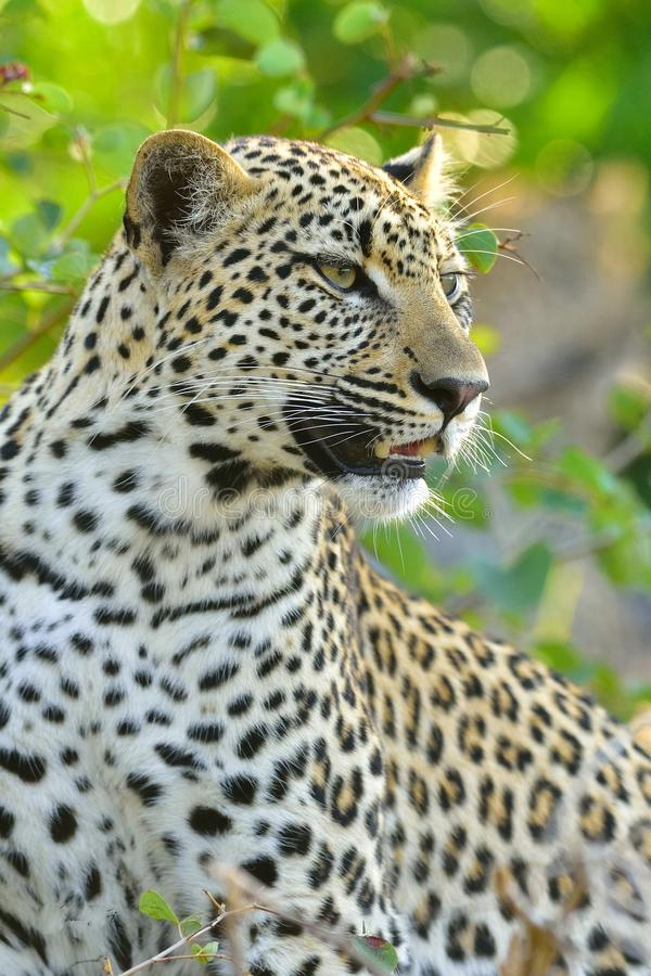 Leopard Sydafrika royaltyfri fotografi