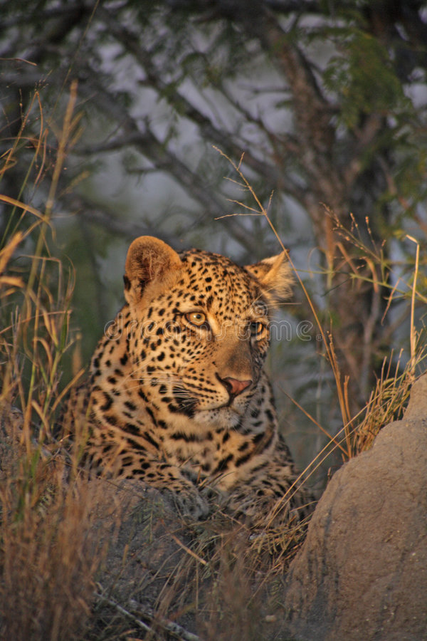 Leopard On A Termite Mound Stock Image