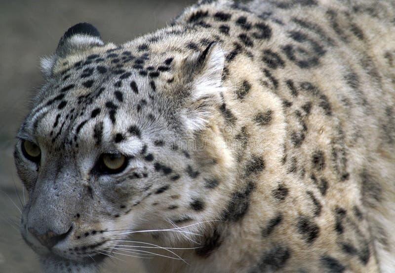 Leopard, Terrestrial Animal, Wildlife, Snow Leopard stock photo