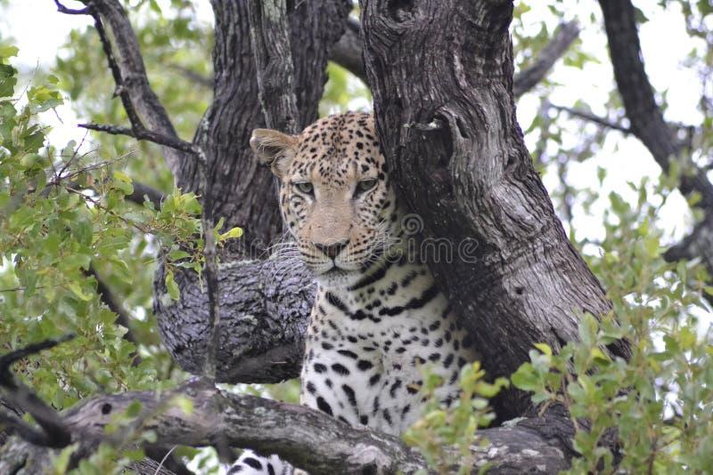Leopard, terrestrisches Tier, wild lebende Tiere, Jaguar stockbild