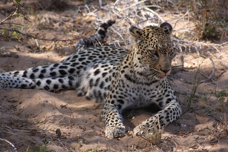 Leopard Timbavati Hoedspruit South Africa. Lying front paws visible on sand. Eyes open, head up royalty free stock photography