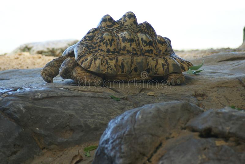 Leopard Tortoise Sunning on Some Rocks. SONY DSC Here is A Leopard Tortoise Sunning Himself on Some Rocks. This turtle is native to Eastern and Southern, Africa stock photos