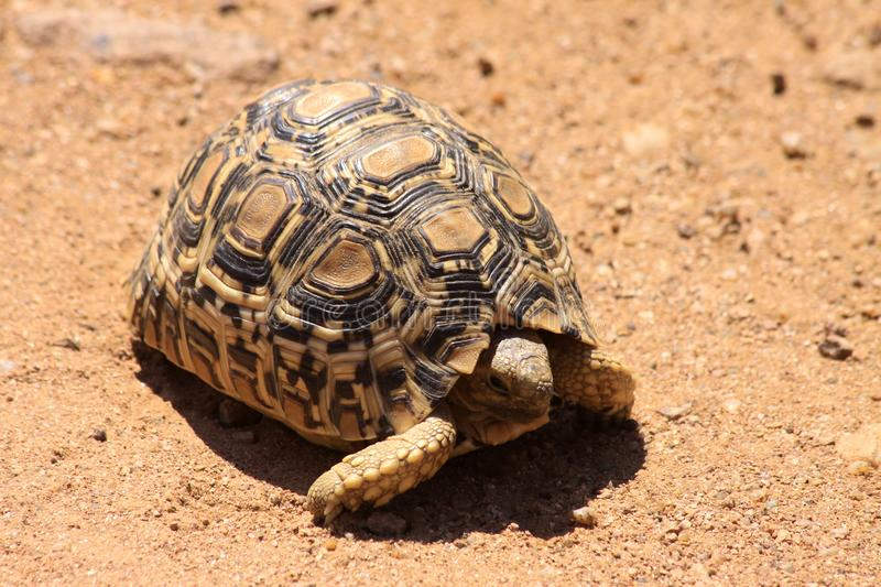 Download Leopard tortoise stock image. Image of curious, scale - 14659181