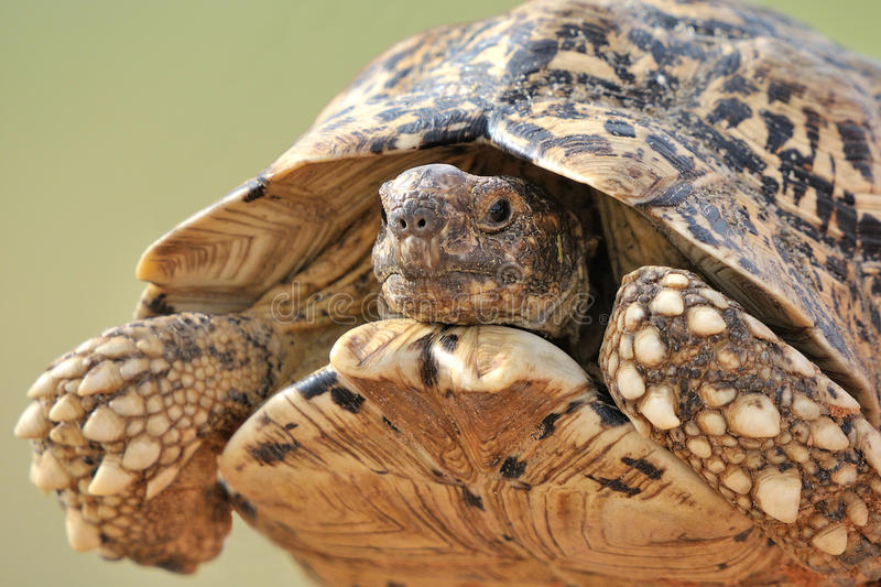 Leopard tortoise. In the Kgalagadi Transfrontier Park, South Africa royalty free stock image