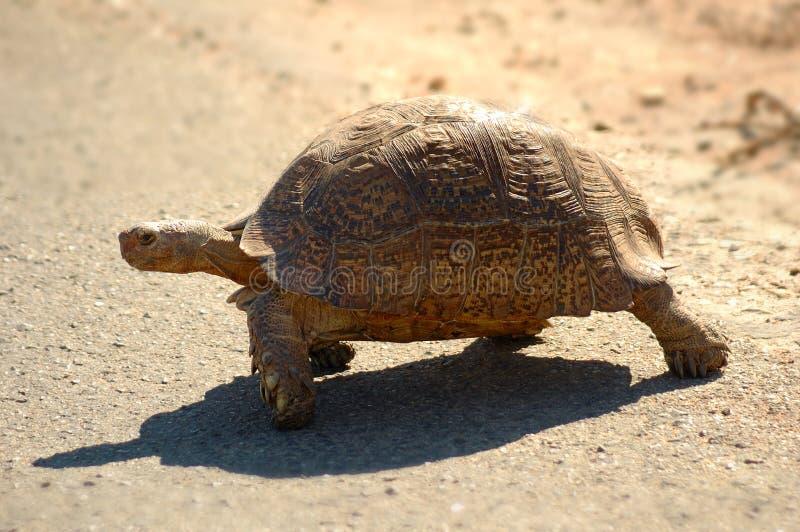 leopard tortoise στοκ φωτογραφίες με δικαίωμα ελεύθερης χρήσης