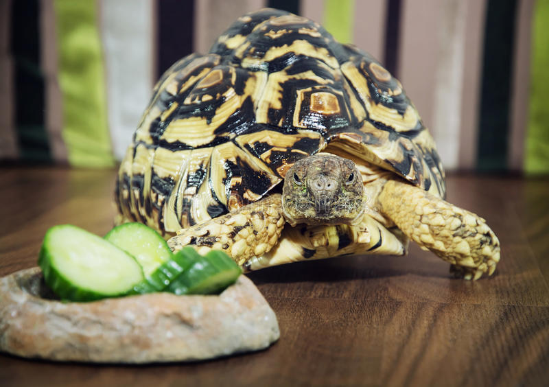 Leopard Tortoise In The Defense Position Stock Photo Image