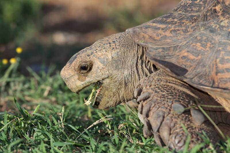 Leopard Tortoise Eating royalty free stock images