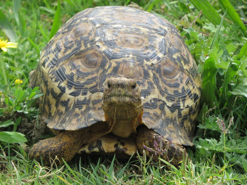 Leopard Tortoise stock photography