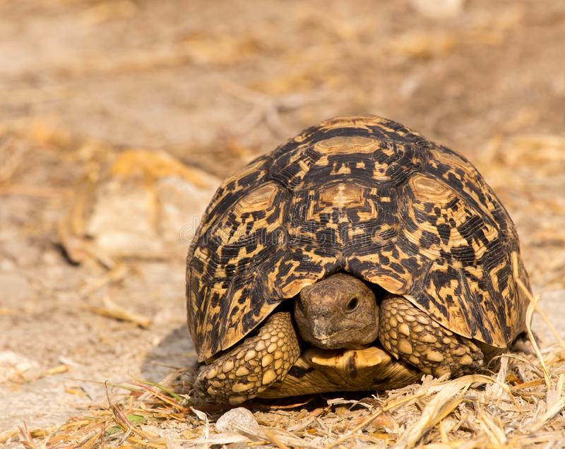 Leopard tortoise head-on view. Head-on view of leopard tortoise in Grootfontein, Namibia royalty free stock image