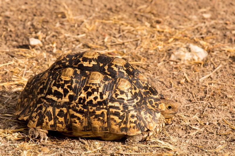 Leopard tortoise. In Grootfontein, Namibia royalty free stock image