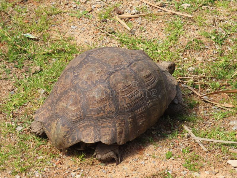 A leopard Tortoise royalty free stock photo