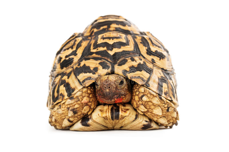 Leopard Tortoise Messy Face. A Leopard Tortoise with food on his face facing forward while sitting on a white background stock photo