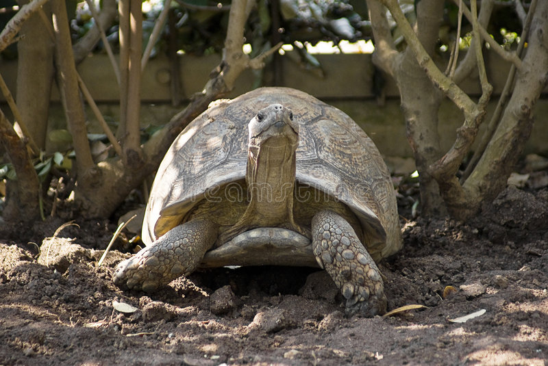 Leopard Tortoise in the Shade royalty free stock photo