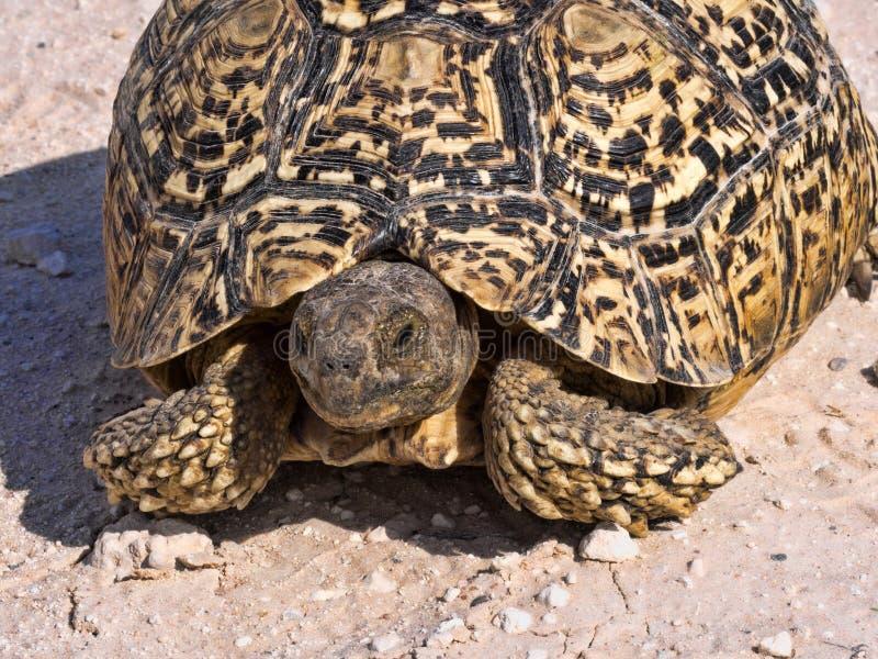 Leopard tortoise, Stigmochelys pardalis, Kalahari South Africa. One Leopard tortoise, Stigmochelys pardalis, Kalahari South Africa royalty free stock photography
