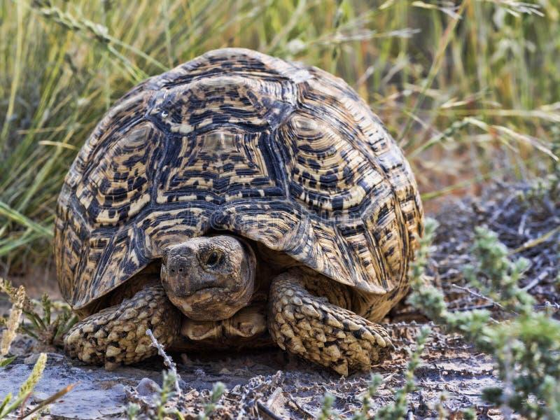 Leopard tortoise, Stigmochelys pardalis, Kalahari South Africa. One Leopard tortoise, Stigmochelys pardalis, Kalahari South Africa stock photos