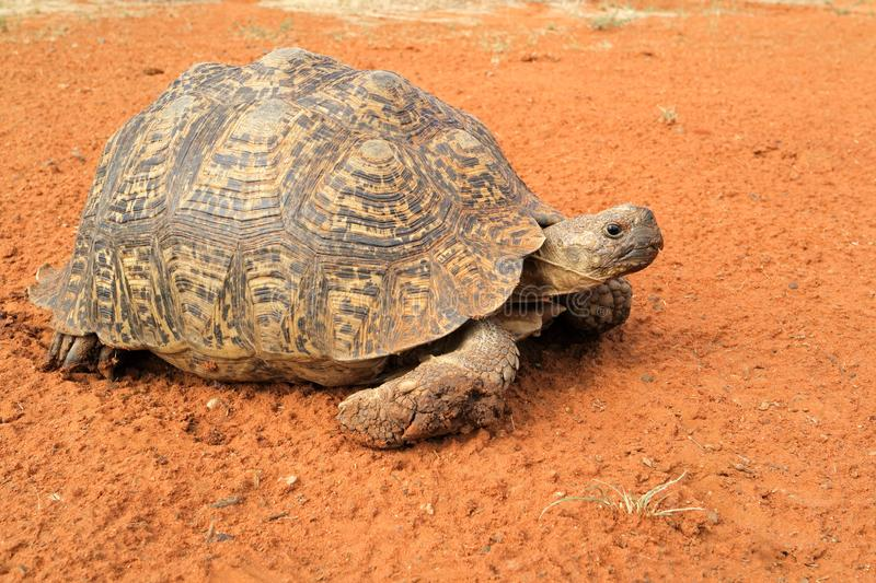 Leopard tortoise peeking from its shell. Leopard tortoise Stigmochelys pardalis peeking from its shell, South Africa stock photos