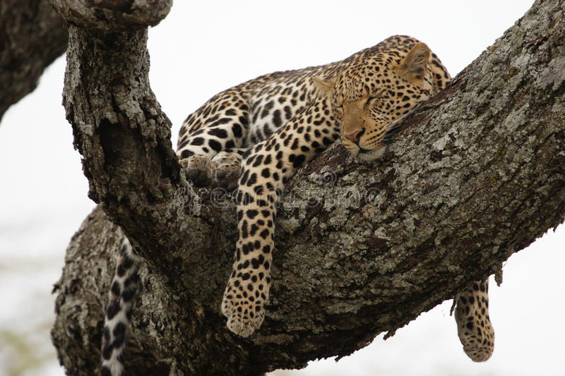 Leopard in the tree stock images