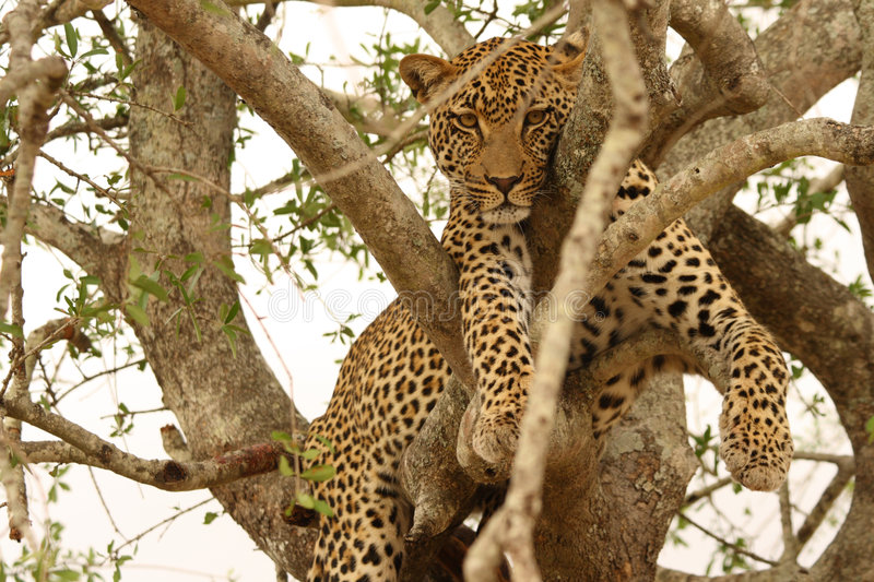 Leopard in a tree stock photography