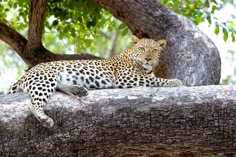 Leopard on tree, Botswana, Africa. Watchful leopard on huge tree trunk Okavango Delta, Botswana. Closeup of beautiful Leopard watchful looking while lying on royalty free stock photography