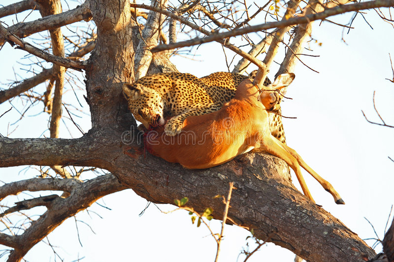 Download Leopard In A Tree With Kill Stock Photo - Image: 5759118