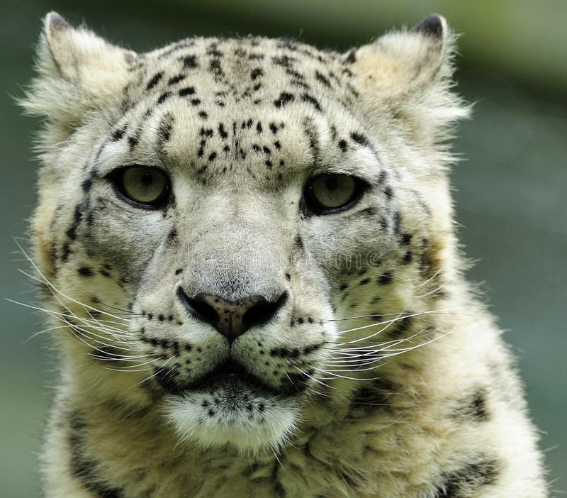 leopard uncia χιονιού στοκ φωτογραφίες με δικαίωμα ελεύθερης χρήσης