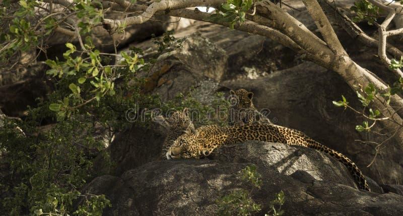 Leopard und ihre Jungen, die auf Felsen, Serengeti, Tansania stillstehen lizenzfreie stockfotos