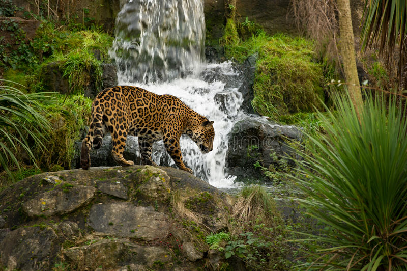 Leopard und Wasserfall lizenzfreie stockfotos