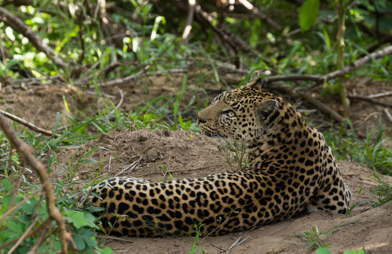 Leopard under cover royalty free stock image