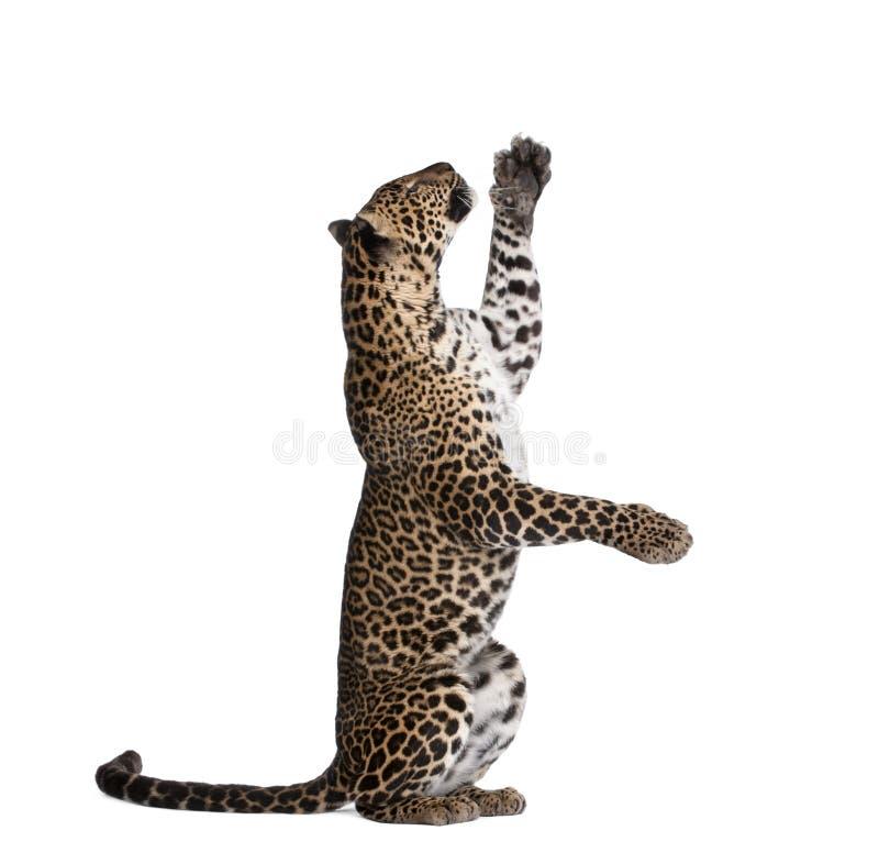 Leopard vor einem weißen Hintergrund lizenzfreie stockfotos