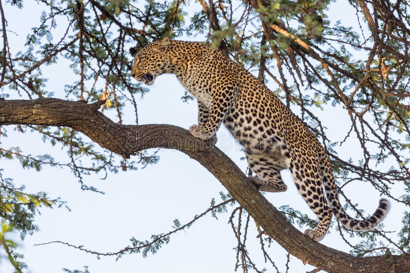 Leopard Walking Along Branch royalty free stock photos