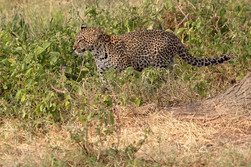 Download Leopard Walking In The Bush Stock Photo - Image: 32384332