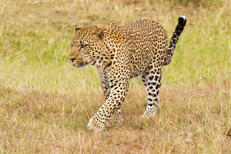 Leopard walking on grass royalty free stock image