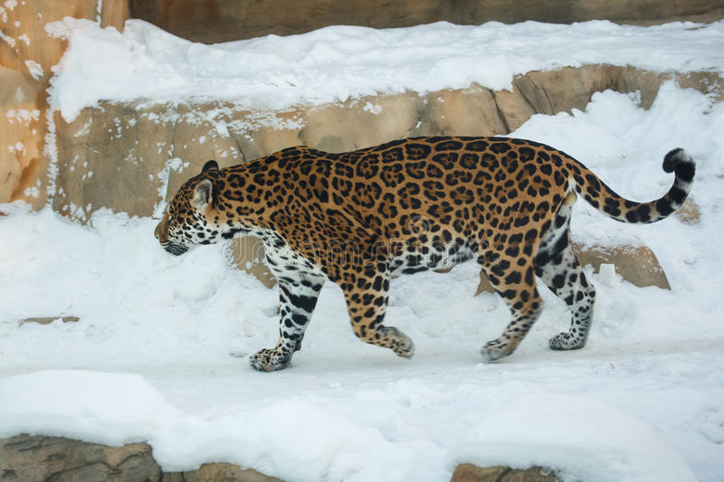 Leopard walking on snow royalty free stock images