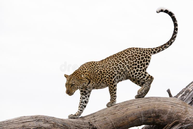 Leopard, Africa. Leopard walking on a big tree in Botswana