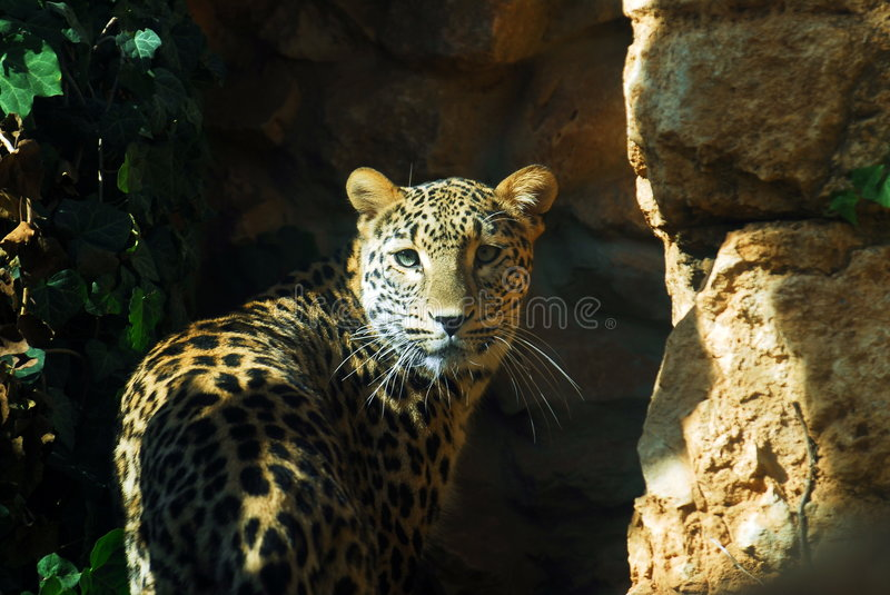 Download Leopard watching stock image. Image of beautiful, stones - 7516803