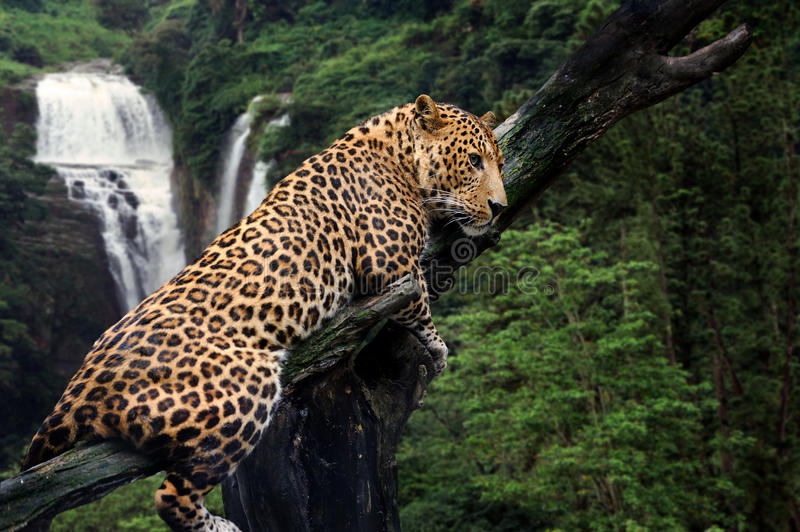 Leopard on waterfall background stock photography