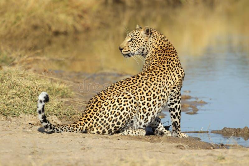 Leopard am waterhole lizenzfreie stockfotos