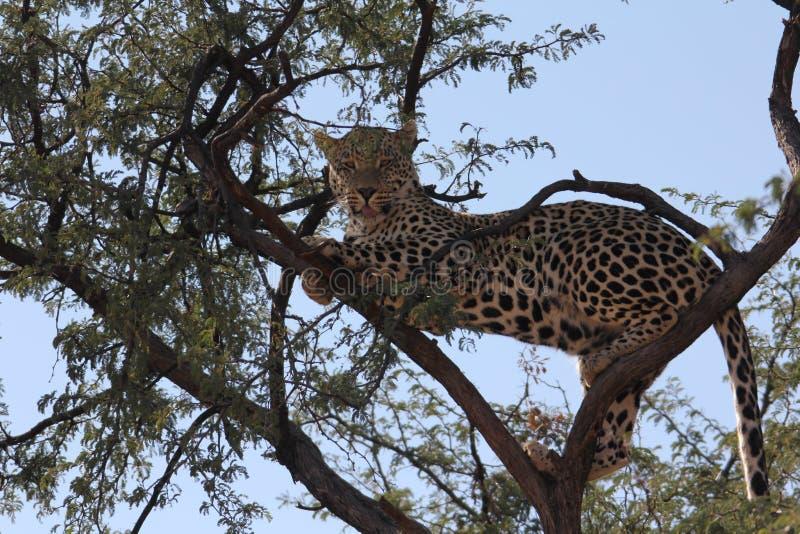 Leopard stock image